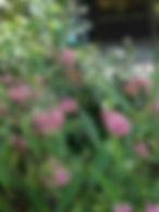 swamp milkweed.JPG