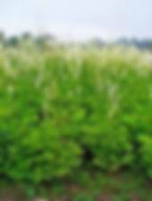 actaea racemosa.JPG
