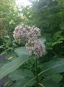 common milkweed 2.JPG