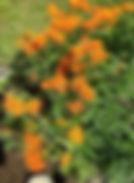 butterfly weed.JPG