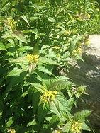 northern bush honeysuckle.JPG