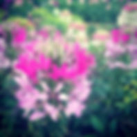 cleome1_edited.jpg