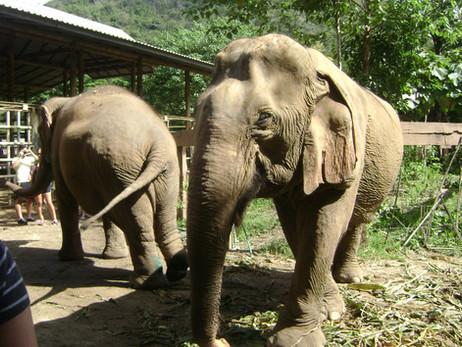 SUDESTE ASIÁTICO 9º Dia - Conhecendo um Santuário de Elefantes em Chiang Mai (12/11/2016)
