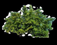bush_PNG7217.png