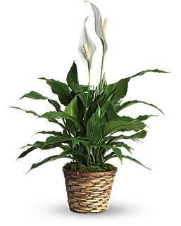 6 Inch Peace Lily ~ $49.99