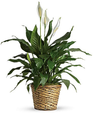 "8"" Peace Lily ~ $74.99"
