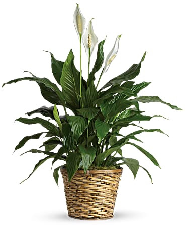 """8"""" Peace Lily ~ $74.99"""