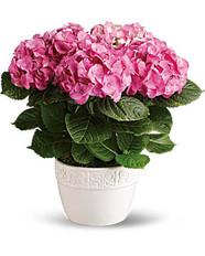 Hydrangea in 6_ Basket ~ $54.99