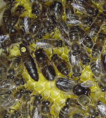Dunkle Bienen mit Kö-D-A.tif