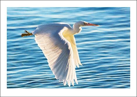 Majesty - Heron Island, Australia