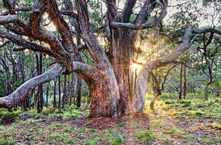 Forest Elder - Deep Creek, South Australia