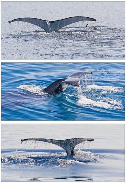 Whale Tails (triptych) - Fraser Coast, Queensland