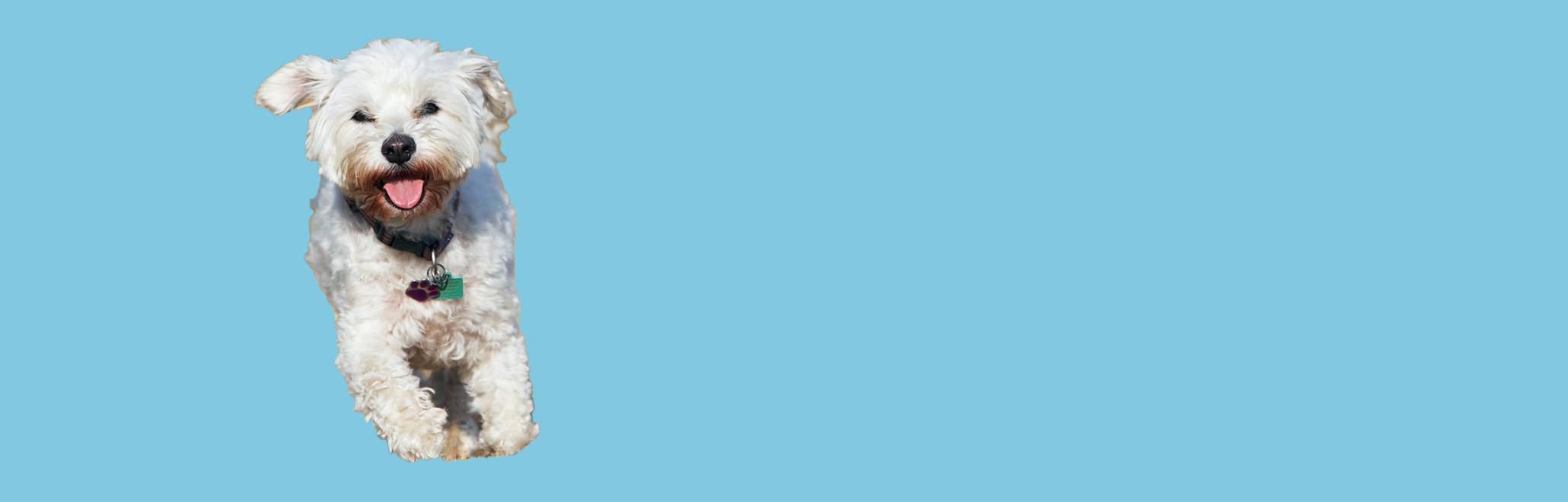 blue-background-dog2