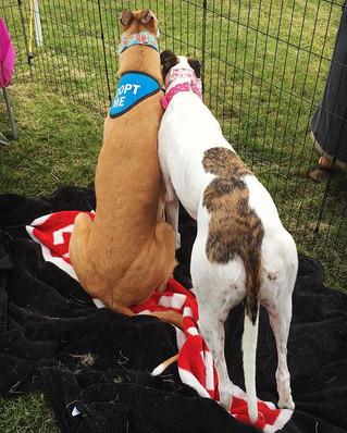 Greyhound Adoption Expo 2017