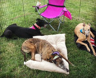 GPG Volunteers and foster pups Killian, Addison, and Marry had a Greyt day at the Greyhound Adoption