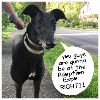 GPG will be at the annual Greyhound Adoption Expo in Connecticut on the June 11th!!