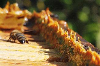 1620px-Propolis_in_beehives.jpg
