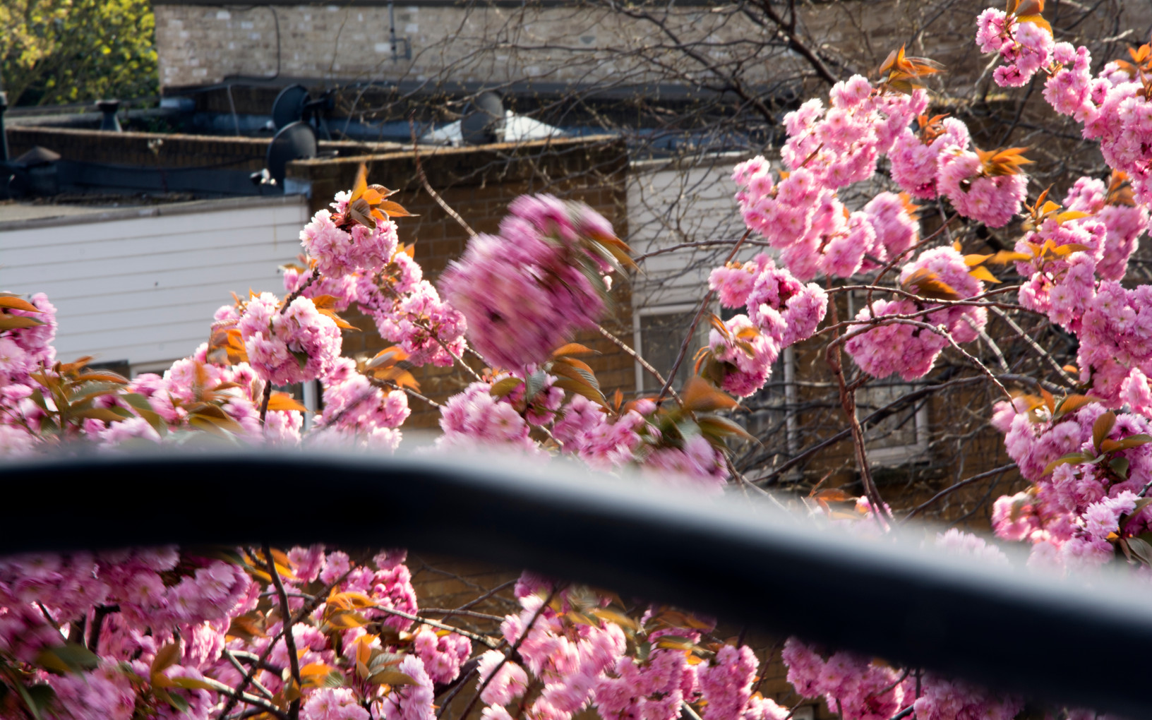 Blossoms in the wind | London, March 2020.