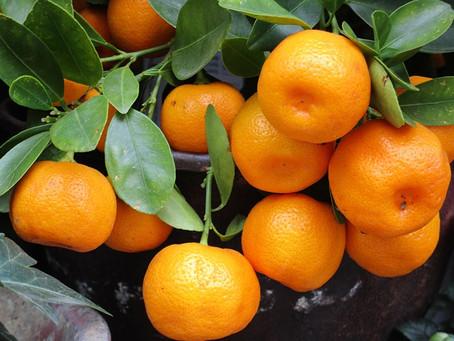 Huertos Inteligentes: Caso de estudio con drones en mandarinos var. W.Murcott.