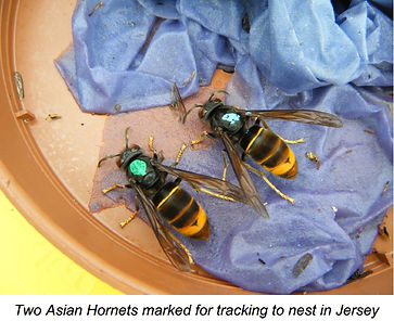 Asian hornets marked.jpg