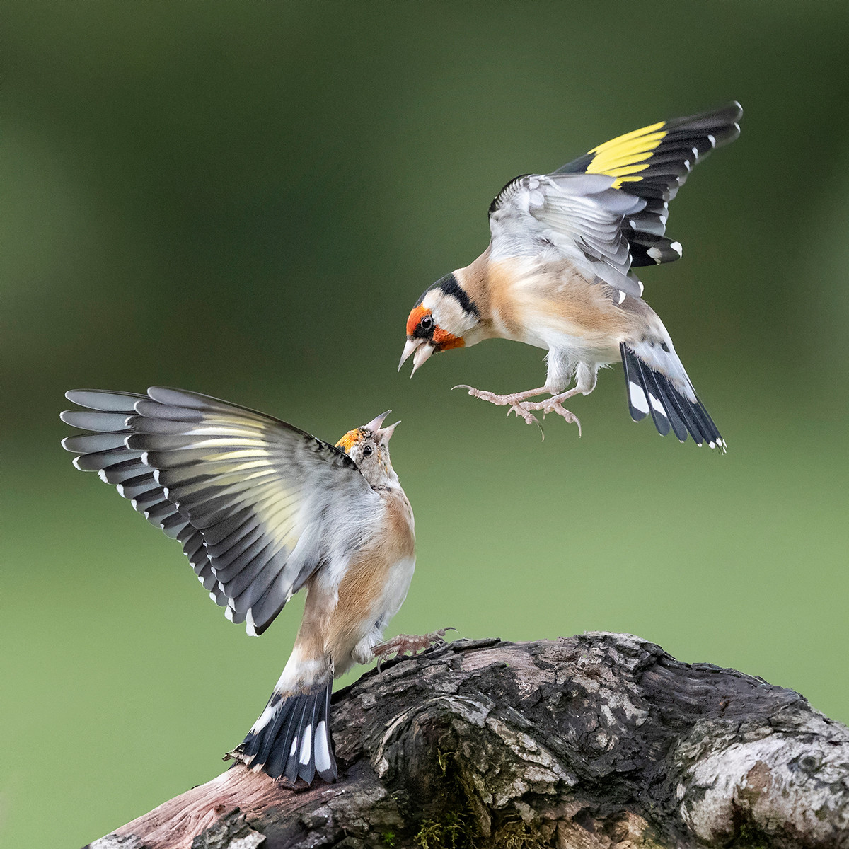 'Goldfinches' by Hugh Wilkinson (14 marks)  -  Catchlight Camera Club