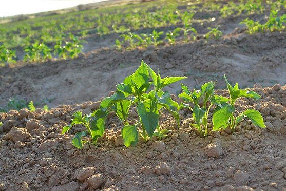 Chile plant
