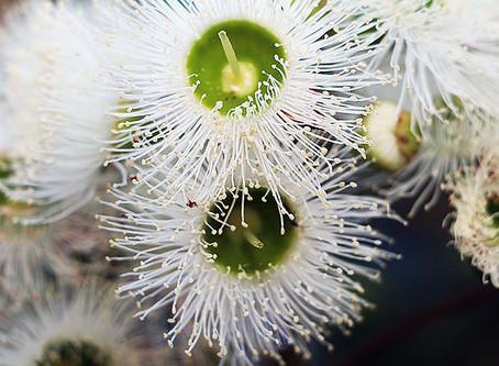 Australian Honey in Full Bloom this Autumn