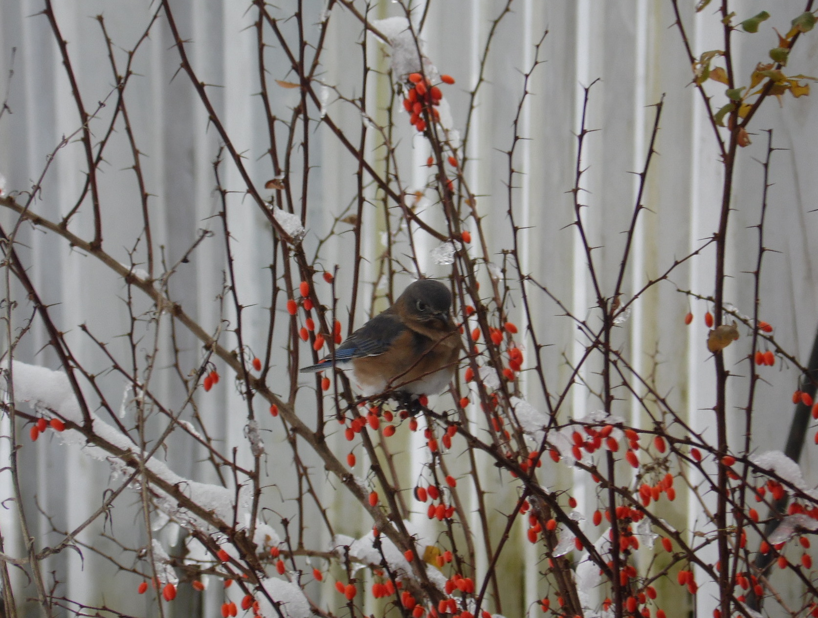 Blue Bird in Winter