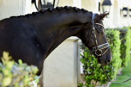 Dressage horse Dante Cool Diamante side profie photo braided black gelding conformation bridle sweet