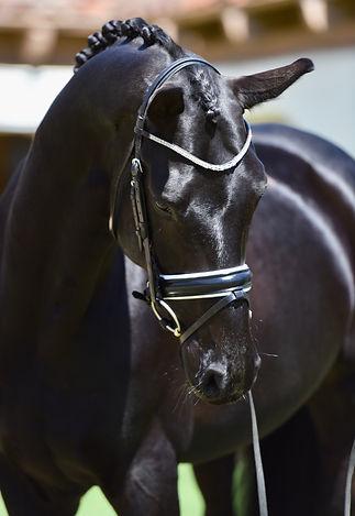 Dressage horse Dante Cool Diamante sweet eye front profie photo braided black gelding conformation bridle sweet