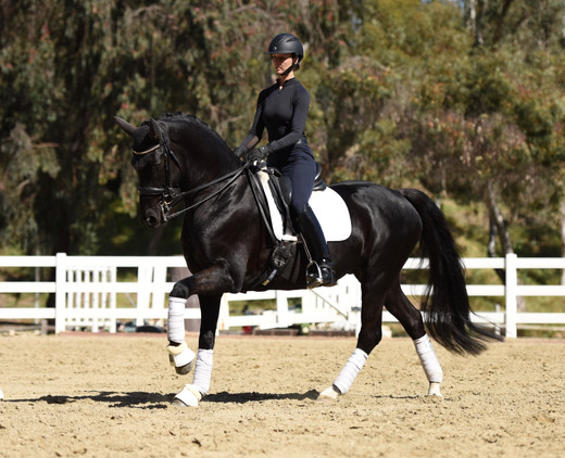 cool diamante dante and ashey donadt dressage trotting in a sales photo, extended canter, white polo wraps, black gelding horse