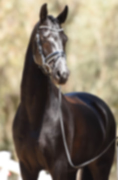 Dressage horse Dante Cool Diamante front profie photo braided black gelding conformation bridle sweet