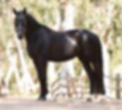 Dressage horse Dante Cool Diamante side profie photo braided black gelding conformation bridle sweet 16.2 hand