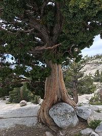 Tree hugs rock - $100