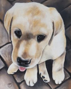 Fluke A3 Labrador Puppy