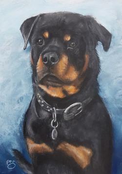 Gus A4 Rottweiler