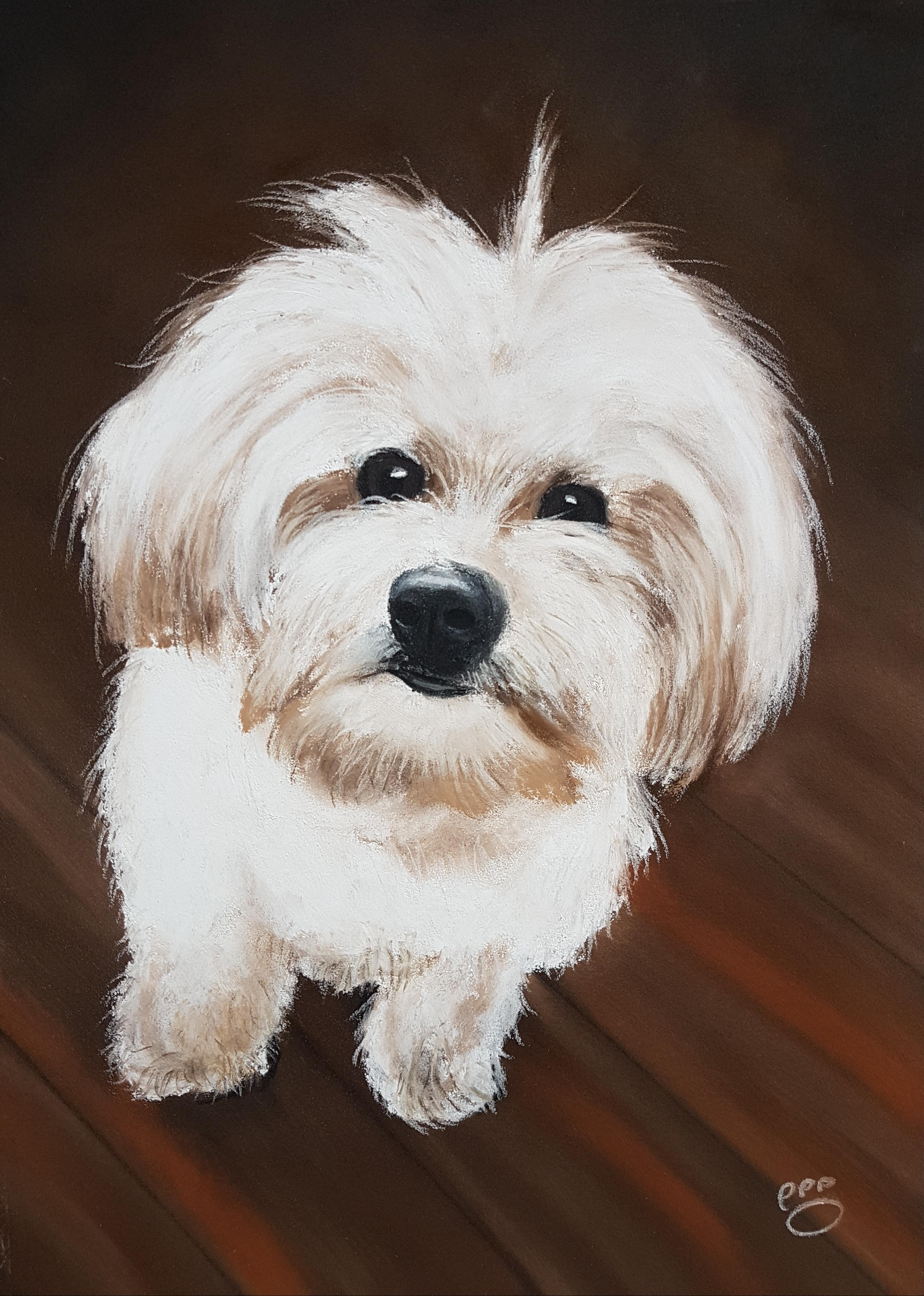 Teddy A4 Maltese Terrier