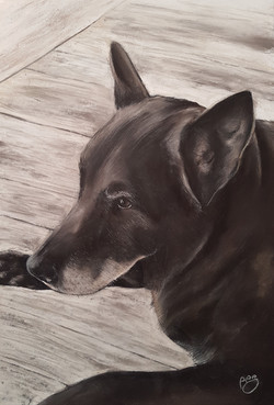 Sam A3 Kelpie/Labrador
