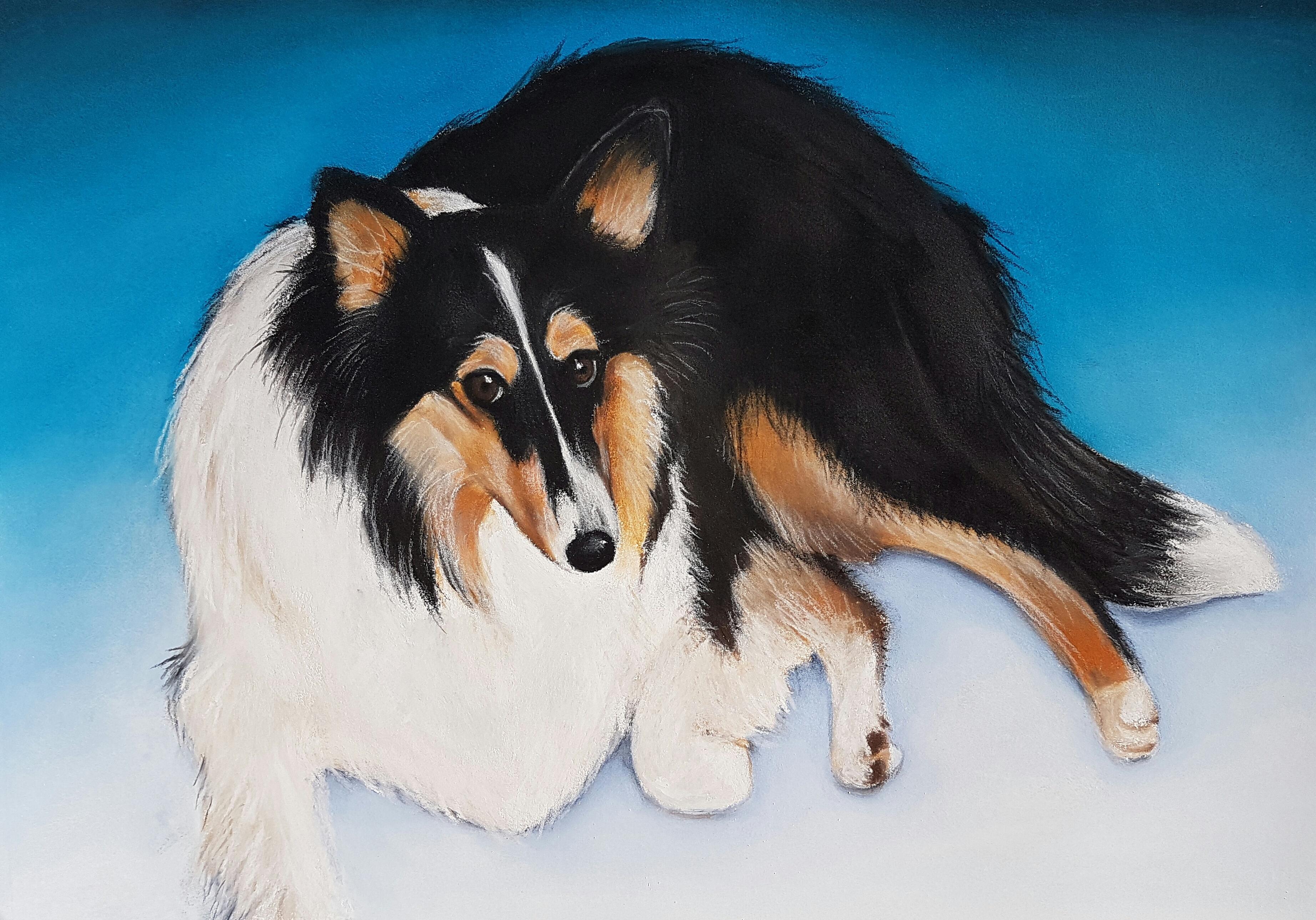 Bonnie A3 Shetland Sheepdog