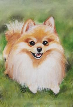 Logan A3 Pomeranian