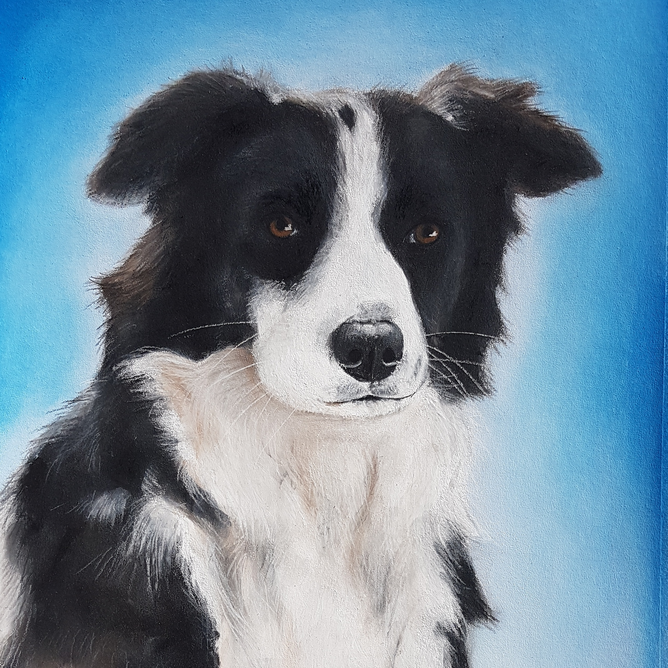 Pip A3 Border Collie