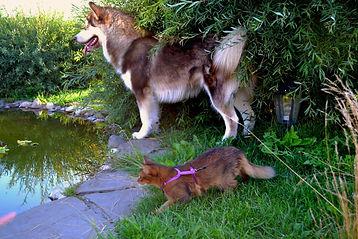котенок сомали и собака