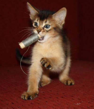Питомник котят сомали. Котенок за игрой