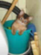 котенок сомали в ведре