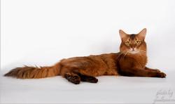 Сомалийский кот окраса соррель