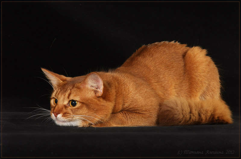 Кот сомали окраса соррель