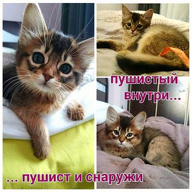 котята сомали