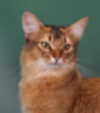 кошка сомали дикий окрас
