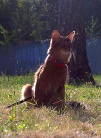 кошка сомали гуляет