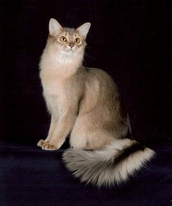 кошка сомали голубой окрас